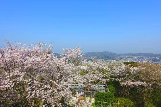 衣笠山公園 展望台 桜