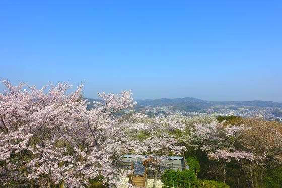 衣笠山公園 桜