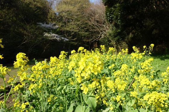 衣笠山公園 菜の花