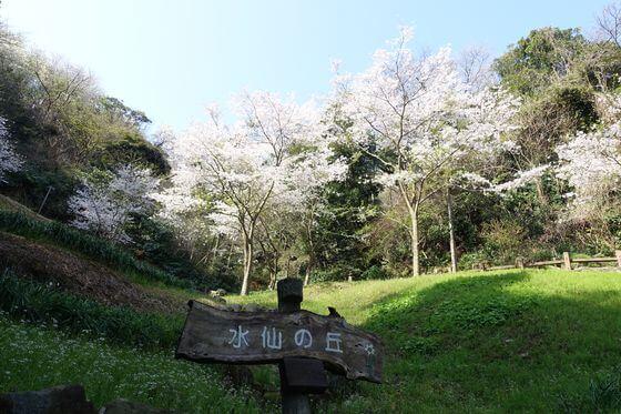 衣笠山公園 水仙の丘