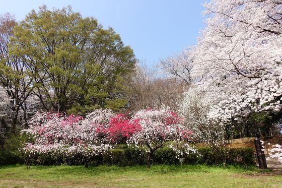 花桃 砧公園