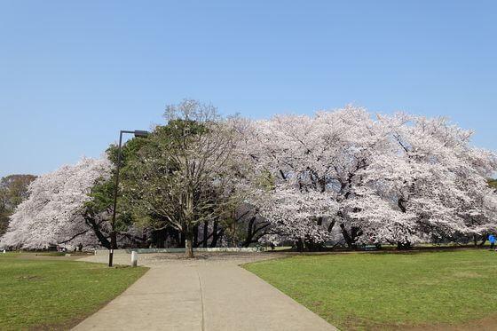 砧公園 花見