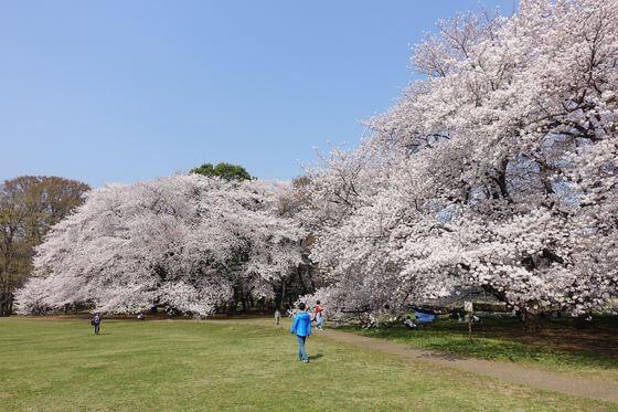 砧公園 桜 ライトアップ