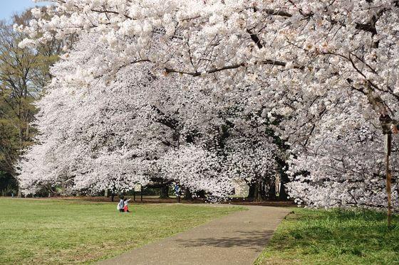 砧公園 桜 見頃