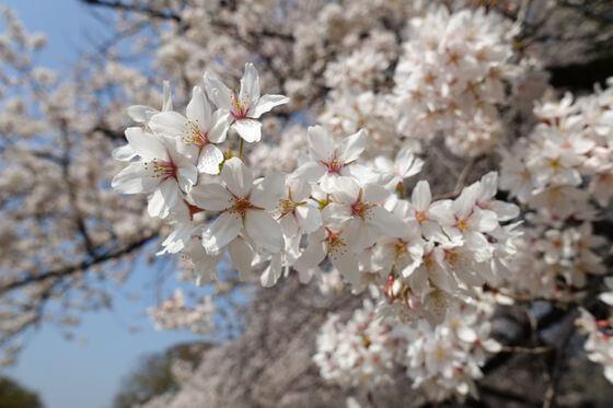 砧公園 桜 開花状況