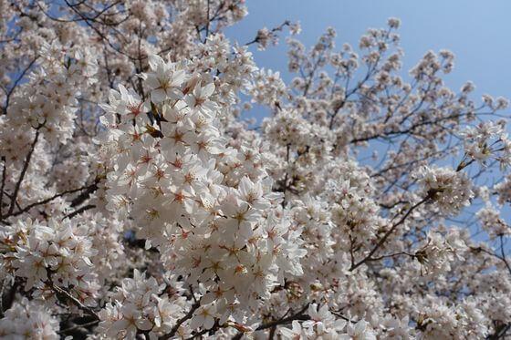 世田谷 砧公園 桜