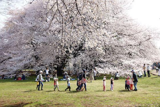 世田谷 桜