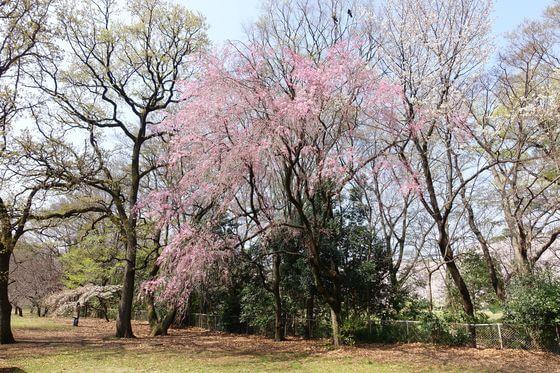 砧公園 しだれ桜