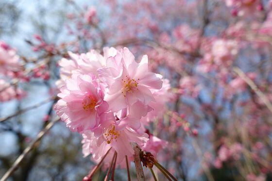 砧公園 枝垂れ桜