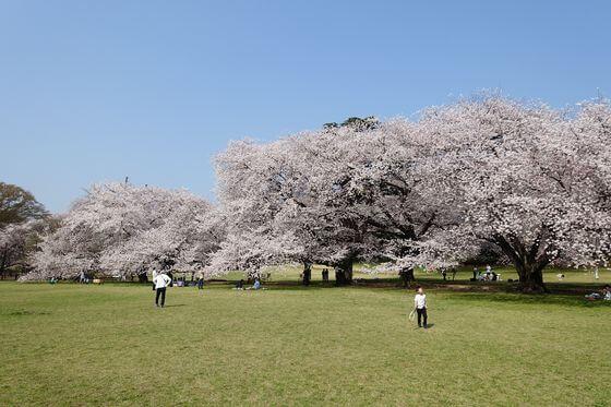 世田谷区 桜