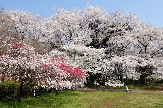 砧公園 花桃