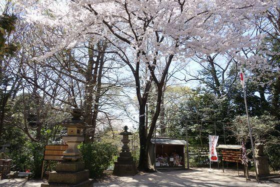 北本氷川神社 桜 見頃