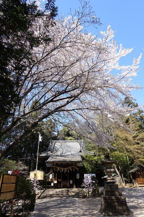 北本市 氷川神社 桜