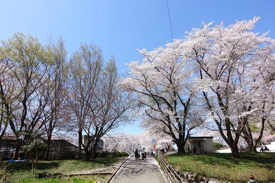 北本市子供公園 お花見