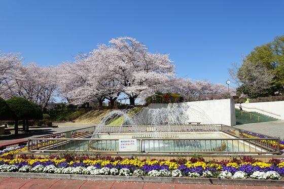 北本市子供公園 桜
