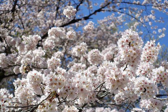 北本市子供公園 桜 開花状況