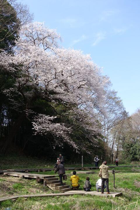 埼玉 エドヒガンザクラ