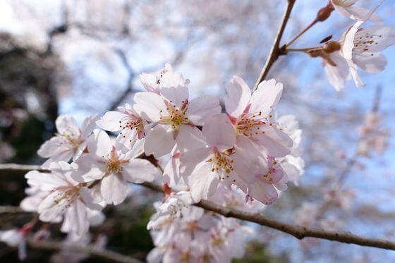 北本自然観察公園 エドヒガンザクラ 開花状況