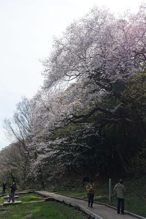 埼玉県自然学習センター エドヒガンザクラ