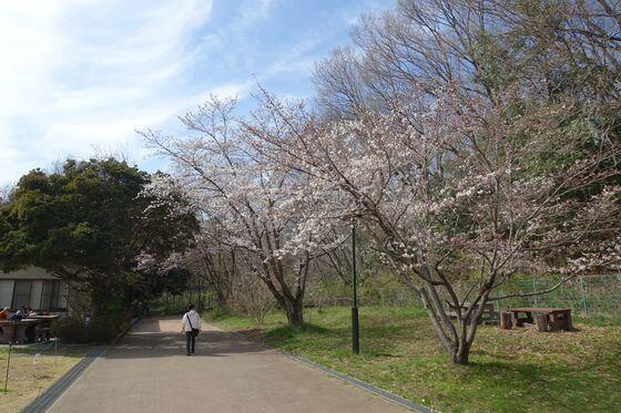 北本自然観察公園 桜