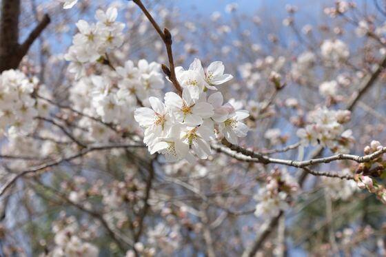 埼玉県自然学習センター 桜