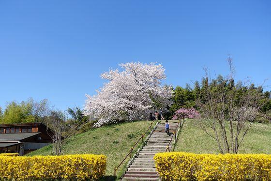 北本市野外活動センター 展望広場 桜