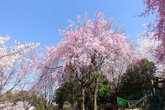 北本市野外活動センター しだれ桜