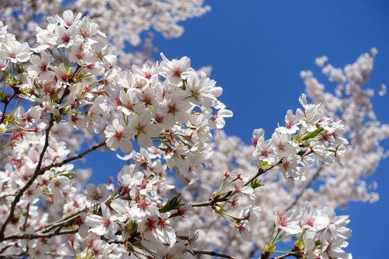野外活動センター 桜 開花状況