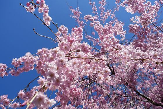 北本市野外活動センター 枝垂れ桜
