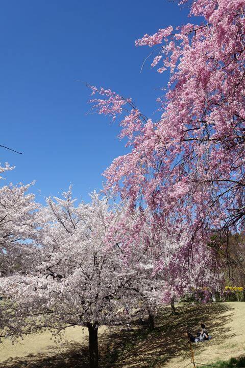 北本市野外活動センター 芝生広場 桜