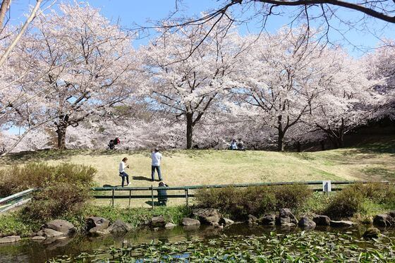 北本市野外活動センター 桜