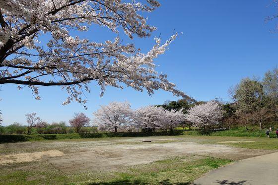 北本市野外活動センター 目的広場 桜
