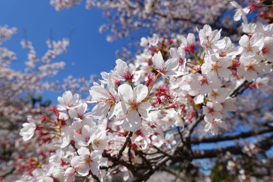 北里大学メディカルセンター 桜並木