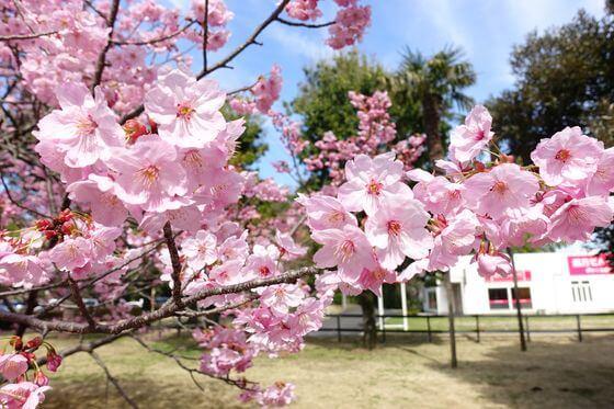 北本市 河津桜