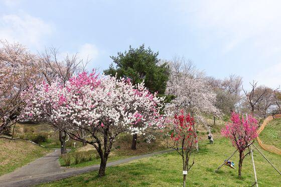こどもの国 桜 見頃