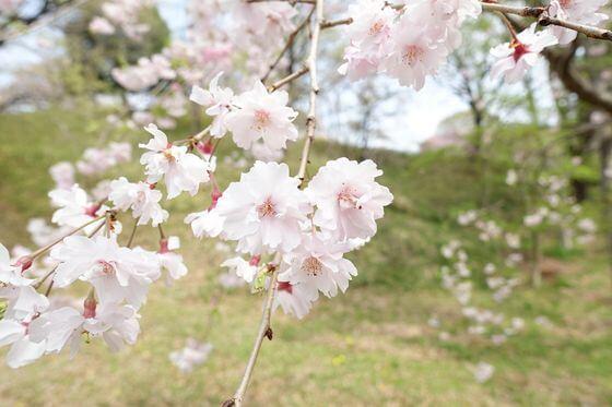 こどもの国 桜 開花状況