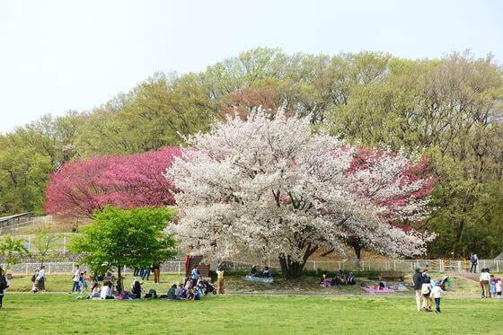 こどもの国 なかよし広場 桜
