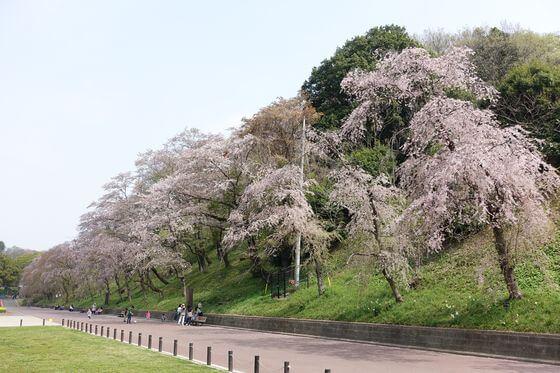 こどもの国 しだれ桜