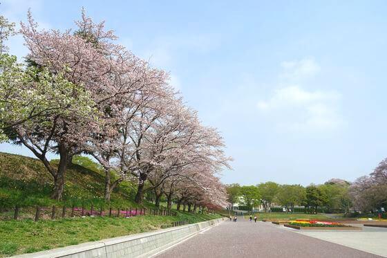 こどもの国 桜 見どころ