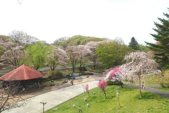 こどもの国 おとぎ広場 桜