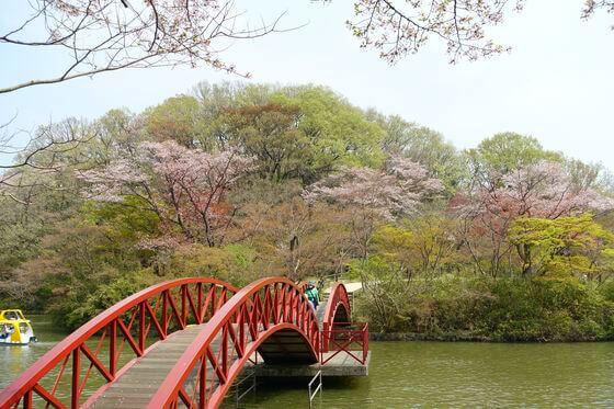 こどもの国 白鳥湖 桜
