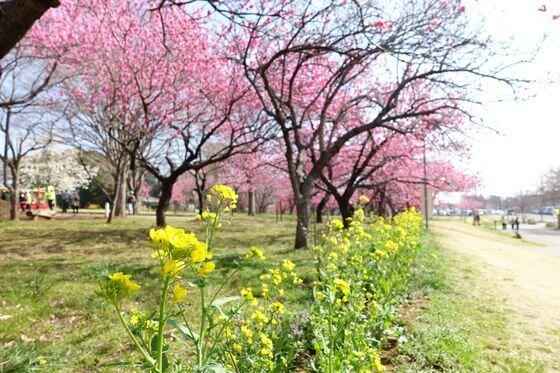 古河総合公園 菜の花