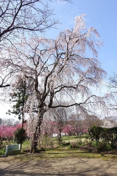 古河総合公園 しだれ桜