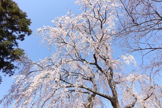 古河の桃まつり しだれ桜