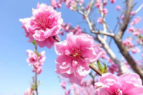 古河の桃祭り