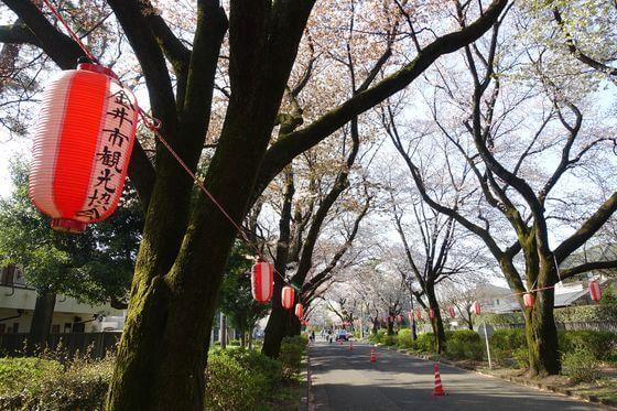 小金井公園 桜 ライトアップ
