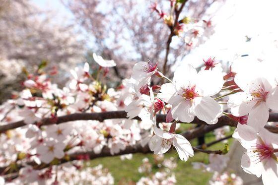 小金井公園 桜 開花状況