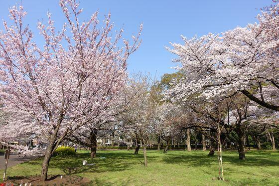 小金井公園 桜 見頃