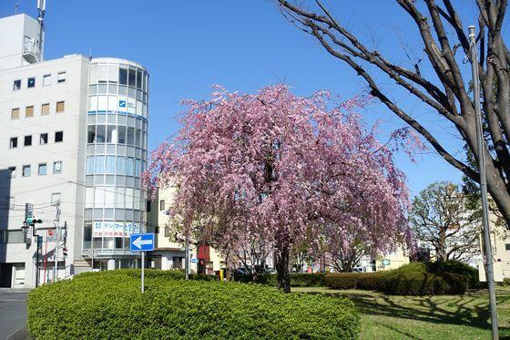 熊谷駅 南口 しだれ桜