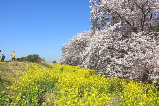 熊谷桜堤 菜の花